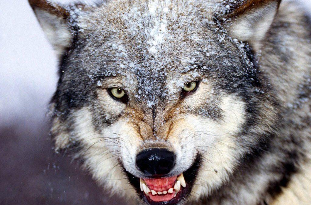 Ancora lupi a Collecorvino