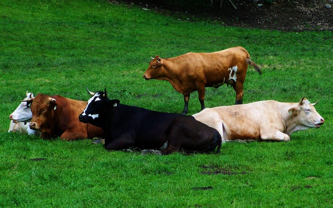 Bestiame in Abruzzo: da oggi è possibile assicurare gli allevamenti per le epizoozie